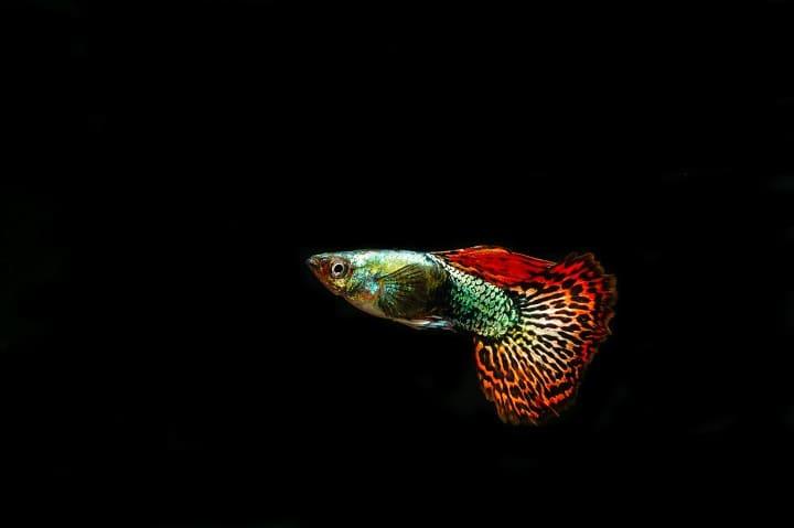 ミラブルプラスで熱帯魚や金魚を飼える?危険はない?大丈夫?