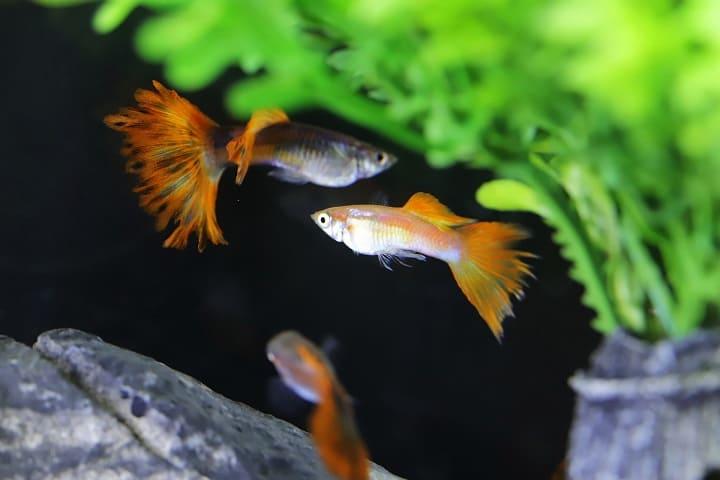 ミラブルプラスで熱帯魚や金魚を飼える?危険はない?大丈夫? まとめ ~ミラブルプラスで熱帯魚や金魚を飼える?危険はない?大丈夫?~